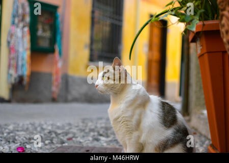 A grey and white tabby cat with beautiful yellow green eyes sits and watches on an alley in Monterosso Al Mare, - Stock Image