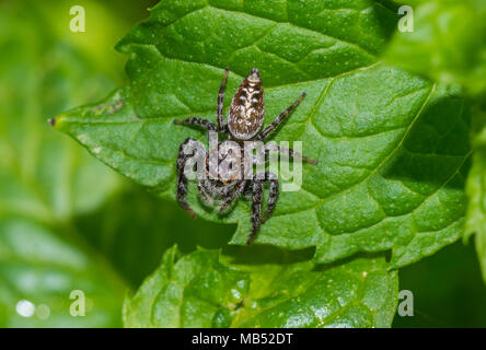 australian jumping spider, brisbane, australia - Stock Image