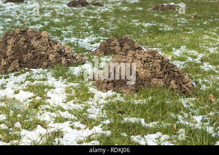 Detail of molehills made by moles. They are annoying because it damages the grass of the garden. Foto taken in winter with snow. - Stock Image