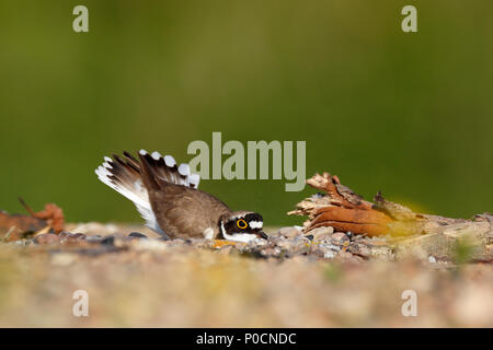 Little ringed plover (Charadrius dubius), animal scraping a nesting hole in the gravel, Biosphere Reserve Middle Elbe - Stock Image