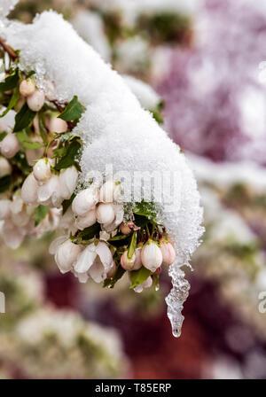 Asian Pear Tree dusted in springtime snow; Salida; Colorado; USA - Stock Image