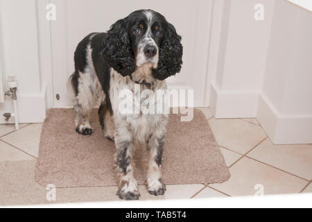 springer spaniel, male adult aged 10, standing on mat by interior door - Stock Image