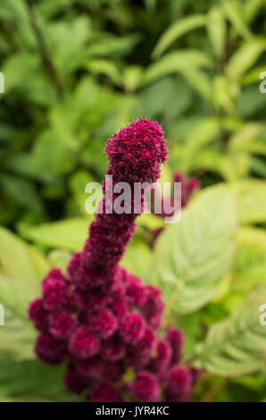 Close up of tip of burgundy red Amaranthus Towers or Fat Spike flowers in bloom with shallow depth of field - Stock Image