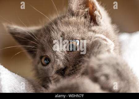 close up photo of cute domestic kitten lying on white towel. suitable for animal, pet and wildlife themes - Stock Image