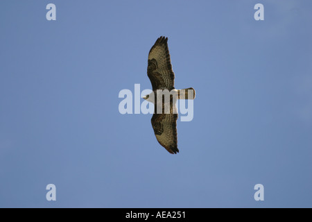 Common buzzard Buteo buteo flying on migration from northern Scandinavia to warmer countries through Denmark in - Stock Image