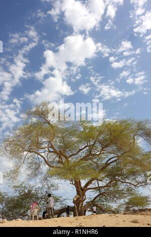 Tree of Life (Prosopis cineraria), Kingdom of Bahrain - Stock Image