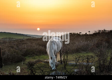 Chapel Carn Brea, Lands end, Cornwall, UK. 19th Apr, 2019. UK Weather. Warm sunrise on Easter Friday, for these ponies grazing on the scrub on the hill at Chapel Carn Brea Cornwall. At least half of the gorse on the hill has been badly burned by a fire. Credit: Simon Maycock/Alamy Live News - Stock Image