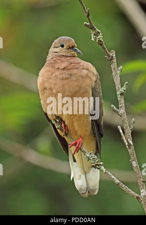Eared Dove (Zenaida auriculata hypoleuca) adult perched on branch  Puembo Birding Garden, Quito, Ecuador                 February - Stock Image