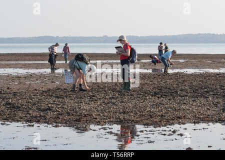 Nature conservation volunteers carrying out an intertidal survey of marine wildlife on the beach at Hill Head, UK - Stock Image