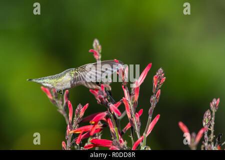 A female Costa's hummingbird (Calypte costae) in flight, feeding on Butterfly Bush aka chuparosa (Justicia californica) (Tucson, Arizona) - Stock Image