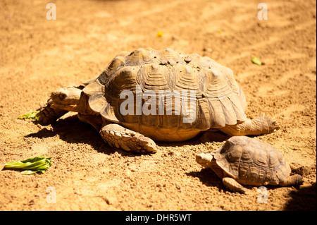 Giant tortoise and small tortoise on sandy ground - Stock Image