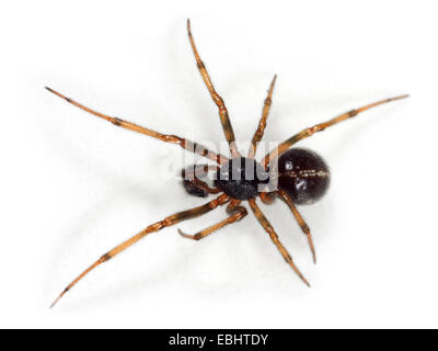 A male Common False-Widow spider (Steatoda bipunctata), on a white background, part of the family Theridiidae - - Stock Image
