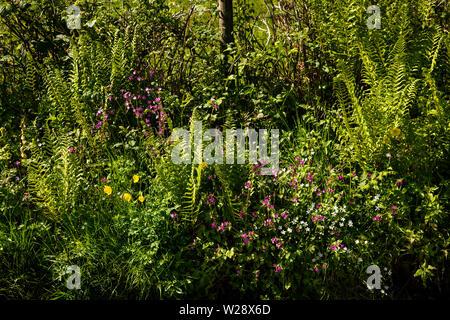 UK, Cumbria, Hawkshead, Ridding, fern and wild flower filled roadside verge near Strickland Ees - Stock Image