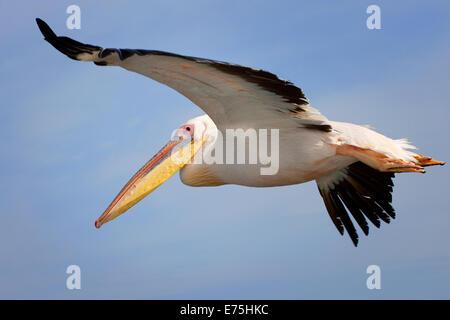 Pelican, Africa - Stock Image