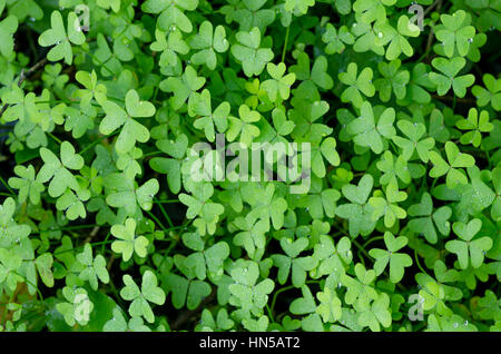 Forest floor covered with Bermuda buttercup, Oxalis pes-caprae, Andalusia, SPAIN. - Stock Image