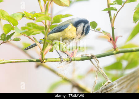 Stirlingshire, UK. 21st Apr, 2019.  UK weather - a blue tit pulls at garden twine breaking off small pieces to use as nesting material in bright hazy sunshine in a Stirlingshire garden Credit: Kay Roxby/Alamy Live News - Stock Image