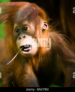 Cute baby Orangutan with straw in its mouth - Stock Image