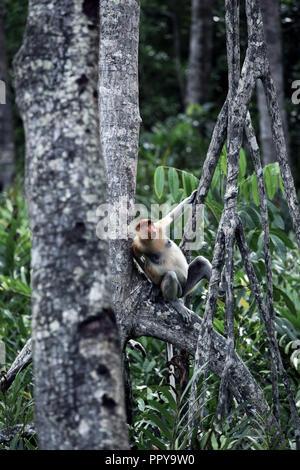 Alpha male proboscis monkey in tree at Labuk Bay in Sabah, Borneo - Stock Image