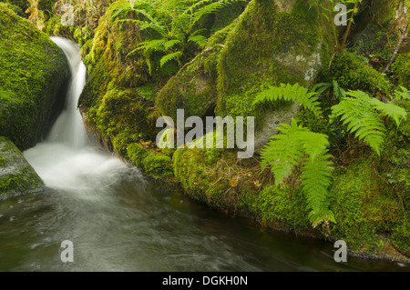 Transient light reaches the depths of the fern festooned vale of Venford Brook, on southern Dartmoor, on a rainy - Stock Image