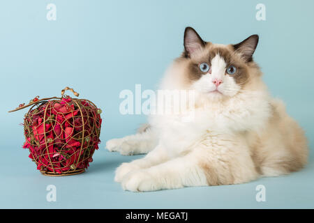 regdoll male cat looking at camera on blue background - Stock Image