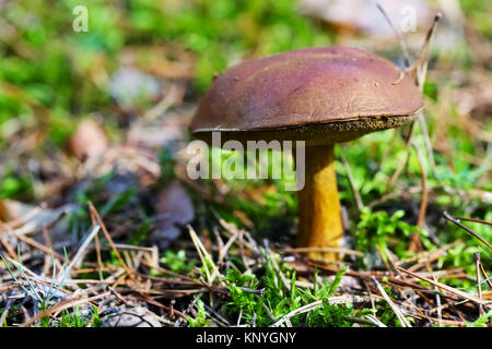 Edible mushroom grows in the forest in moss and there is a lot of pine needles around. - Stock Image