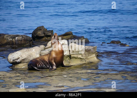 A Sea Lion sitting on the rocks at the edge of the Pacific Ocean on the California Coast - Stock Image