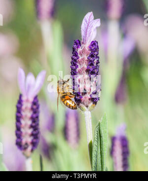 European Honey Bee ( Apis mellifera ) on a French lavender flower ( Lavandula stoechas ). Also known as the Western Honey Bee. - Stock Image
