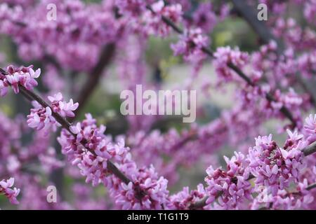 Closeup of flowering cherry blossom tree with copy space - Stock Image
