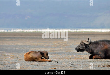 A mother water buffalo watches over her baby on the shores of Lake Nakuru, Kenya. - Stock Image