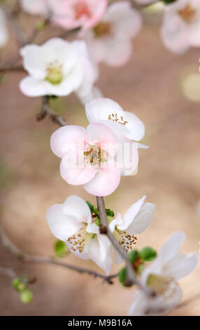 Chaenomeles speciosa Toyo-Nishiki - Flowering Quince - February - Stock Image