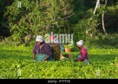Tea Harvesting, Ugandan Women Harvest Tea in Ankole region, Uganda - Stock Image