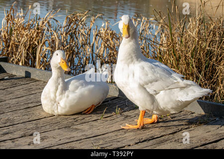 male and female white heavy ducks - American Pekin also known as the Aylesbury or Long Island duck - Stock Image
