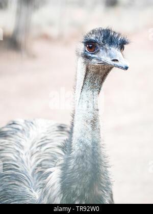 Emu (Dromaius novaehollandiae), the second-largest living bird by height. - Stock Image