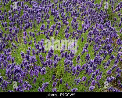 Lavender plants variety Hidcote in full bloom at Yorkshire Lavender Terrington York UK - Stock Image