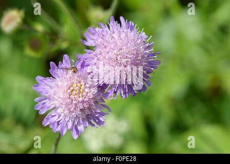 A hover fly at rest on Field Scabious. (Knautia arvensis) - Stock Image