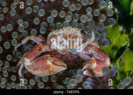 Spotted Porcelain crab with eggs sheltering in carpet anemone. Lembeh Straits, Indonesia. - Stock Image