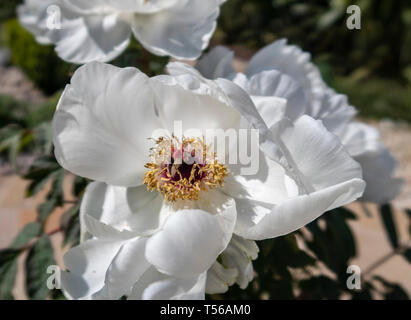 White Tree peony in flower bloom. Peonia suffruticosa white - Stock Image