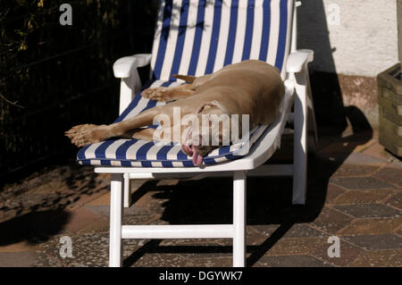 Weimaraner relaxing on a sun lounge - Stock Image