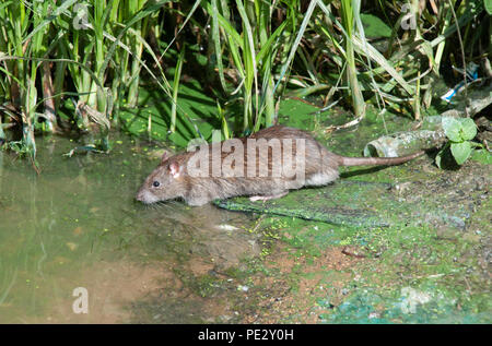 Brown Rat, (Rattus norvegicus), Brent River, near Brent Reservoir, also known as Welsh Harp Reservoir, Brent, London, United Kingdom - Stock Image