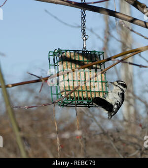 Female Downy Woodpecker, Picoides pubescens, on  suet feeder - Stock Image