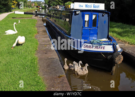A canal Narrowboat and swans cygnets in Lime Kiln lock on the Trent and Mersey canal, Stone 22.6.19. Cw 6780 - Stock Image