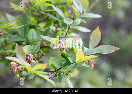 Wild blueberry bush flowers - May - Stock Image