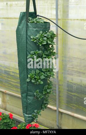 petunia flowers growing in a grow bag - Stock Image