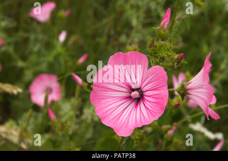 Annual mallow, rose mallow or royal mallow (Lavatera trimestris) bright rose flowers. A wild plant of Malvaceae family. Arrabida Nature Park, Portugal - Stock Image