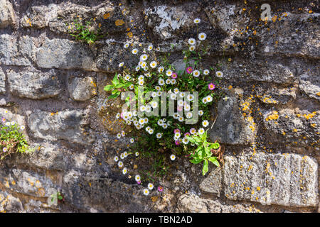 A clump of Mexican Fleabane (Erigeron karvinskianus) on an old stone brick wall with lichen and a small amount of other growth in Bradford on Avon - Stock Image