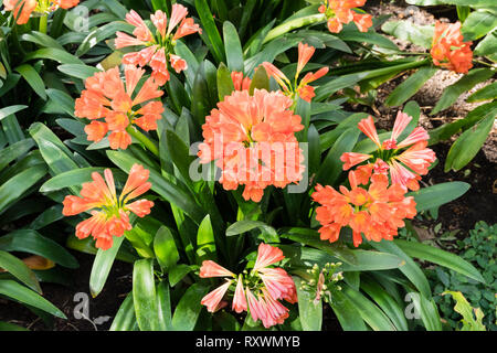 Flowers of Clivia miniata (bush lily, Natal lily) native to South Africa. - Stock Image