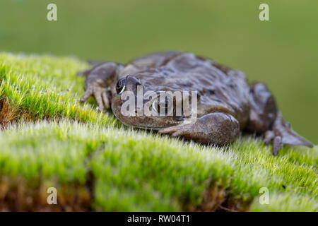 Close up of common frog or European common frog Rana temporaria on a mossy bank close to pond - Stock Image