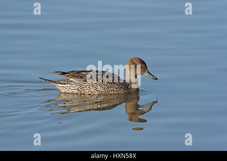 Pintail (Anas acuta) duck. Gloucestershire, England. March. - Stock Image