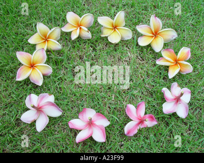 Frangipani flowers on lawn grass in a circle - Stock Image