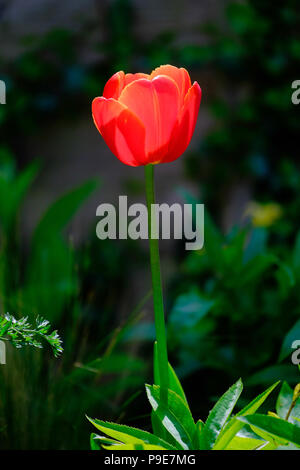 a single red tulip against a dark background - Stock Image